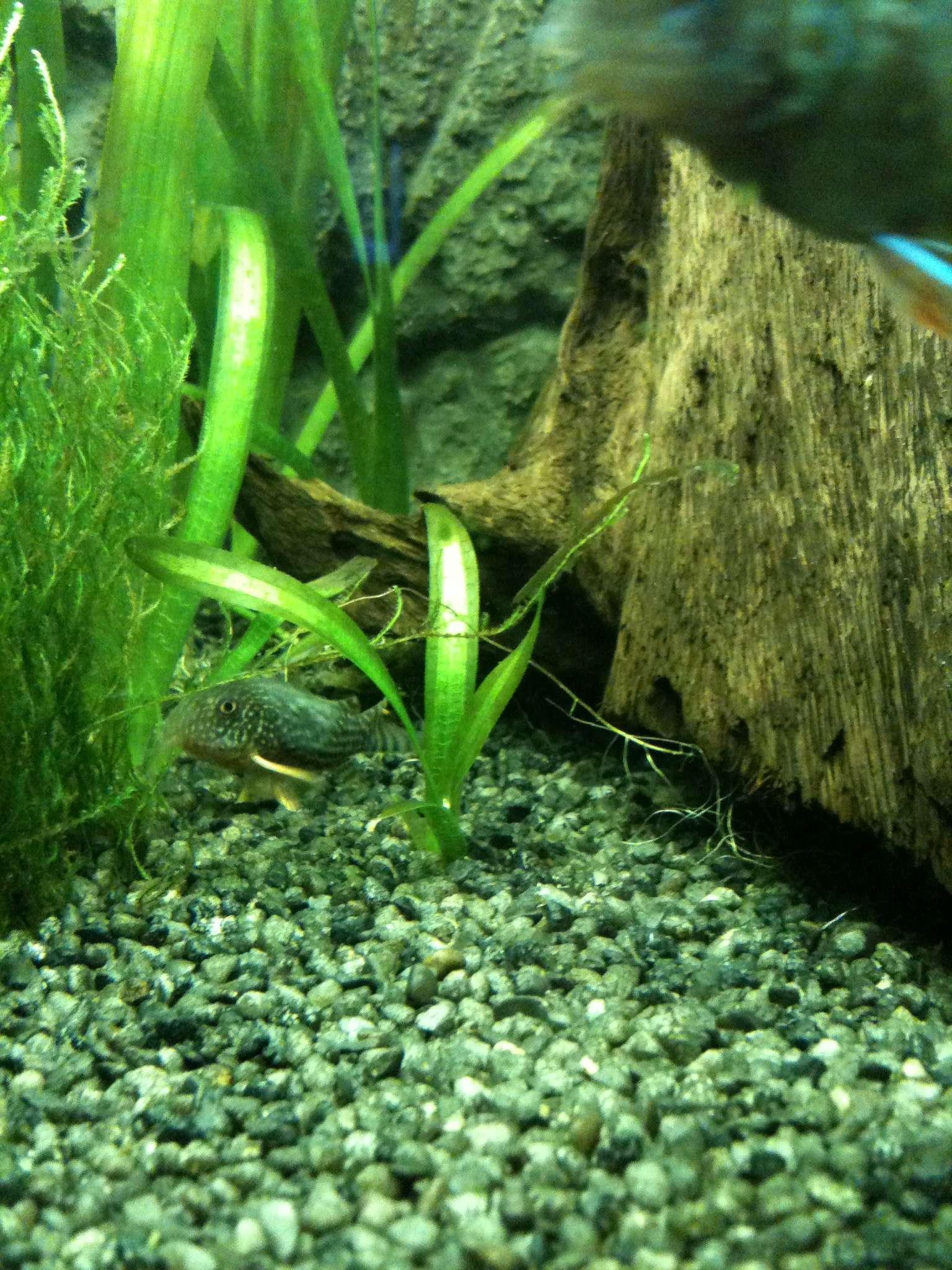 fische im aquarium schwimmen oben