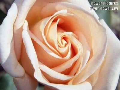 احلى صور ورد peachroses01.jpg